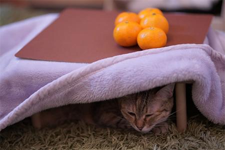 こたつ猫の写真①