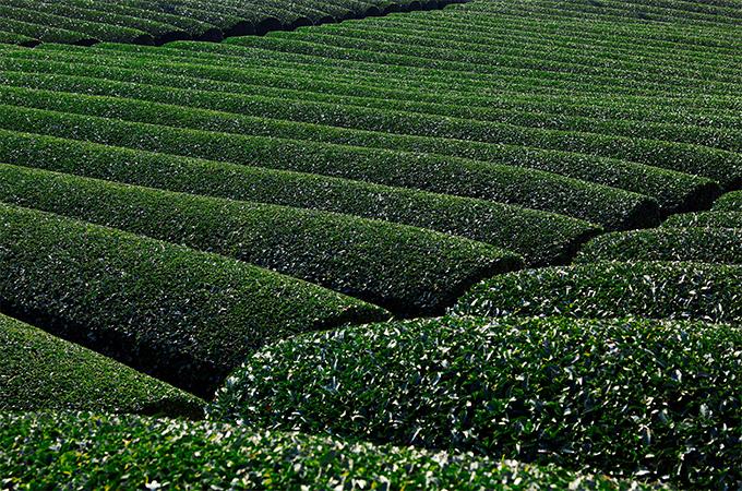 京都府の「宇治茶」