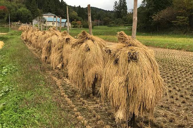 収穫した稲