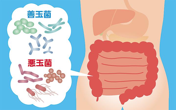 腸内細菌の図
