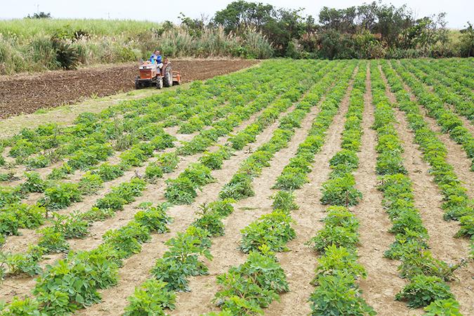 無農薬栽培のサクナ畑