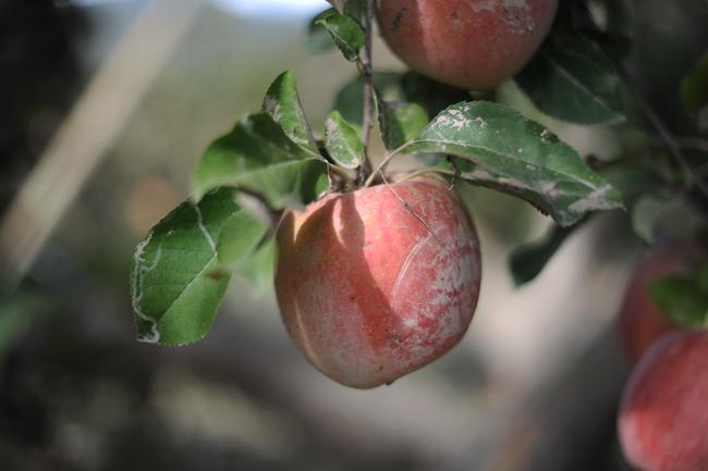 決壊した千曲川沿いのりんご農家を支援