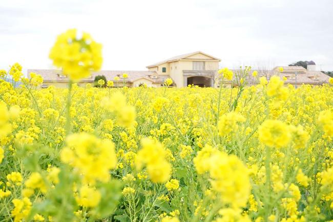 ナノハナの花畑